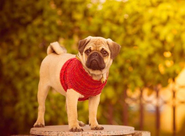 Мопс — собака для тех людей, которые бескорыстны, интеллигентны, открыты и относятся с любовью ко всему, что их окружает!