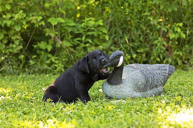 Щенок лабрадора тренируется охотится на дичь