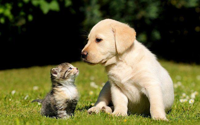 Щенок лабрадора и котенок – сладкая парочка