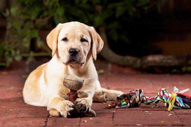 У каждого щенка есть любимая игрушка, которую они могут грызть вечно