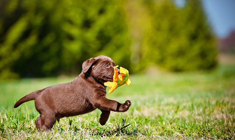 Картинки лабрадора щенка