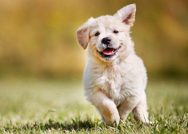 Волей-неволей улыбаешься, глядя на бегущего счастливого щенка лабрадора