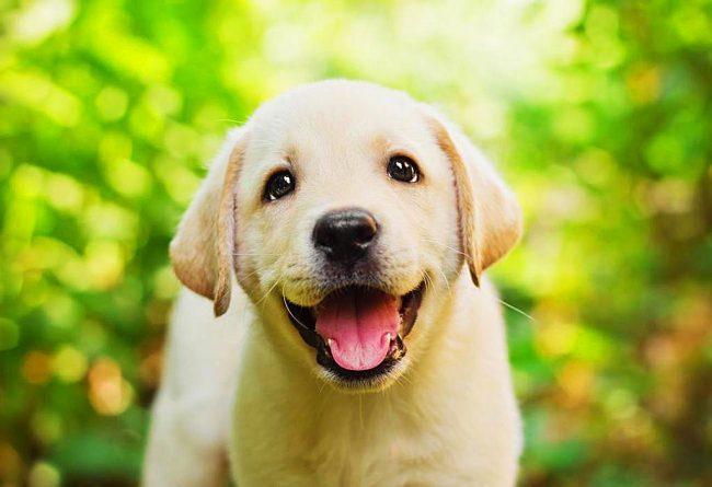 Этот щенок лабрадора - большой любитель фотографироваться