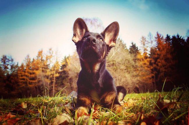 Немецкая овчарка является лучшей породой служебных собак. Они умные, сообразительные, легче поддаются дрессировке