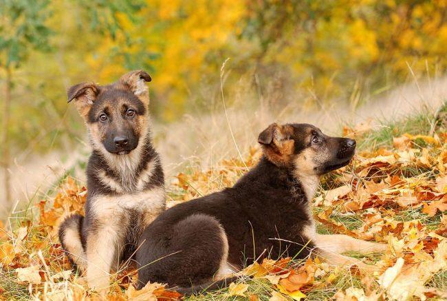 Воспитание чистопородной собаки требует очень много усилий и терпения, но оно того стоит!