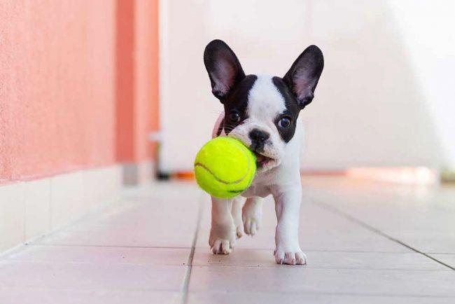 Щенку французского бульдога очень нравится бегать за брошенным мячиком