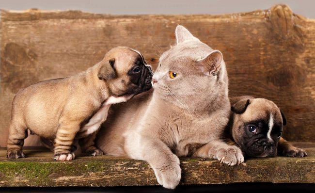 Британская кошка присматривает за щенками французского бульдога