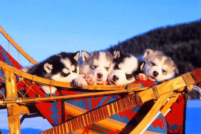Щенки хаски дружно уснули на красочных северных санях
