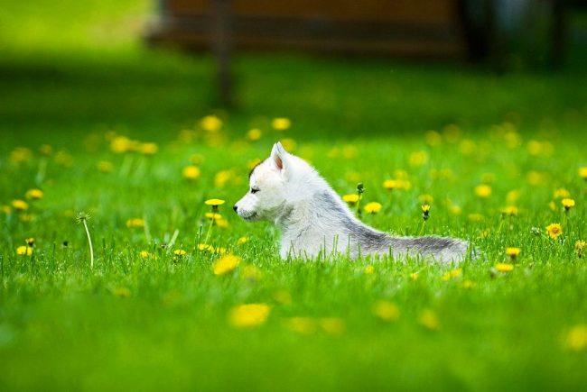 Маленький хаски наслаждается прогулкой по зеленой траве