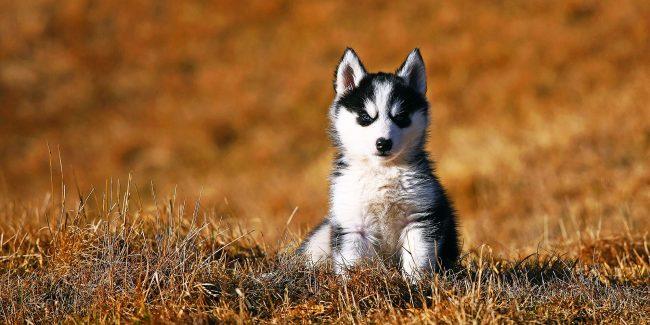 Одной из особенностей щенков хаски является пронзительный взгляд