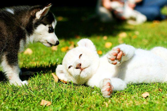 Неожиданная встреча щенка хаски с белым львенком в центральном парке Нью-Йорка