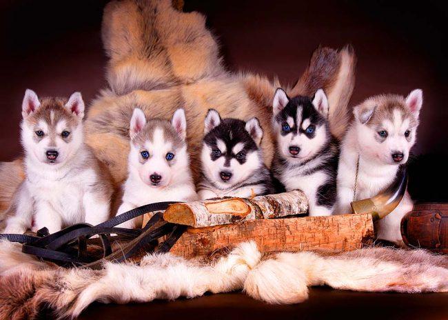 """Маленькие """"эскимосы"""" - они точно не дадут хозяевам заскучать"""
