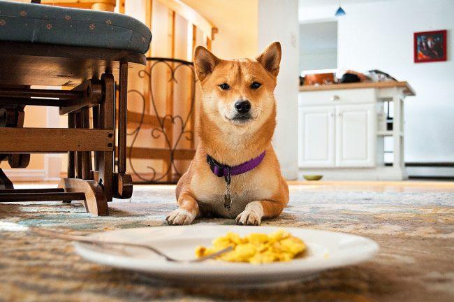 В еде Сиба-ину не привередлива и большого разнообразия не требует