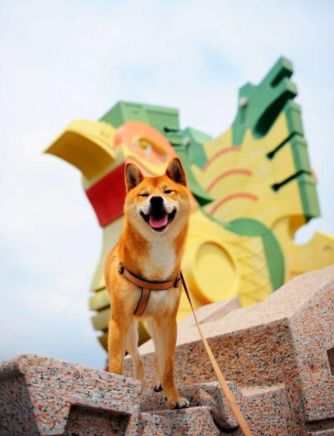 Сиба — это красивая шпицеобразная собака, похожая на лисичку