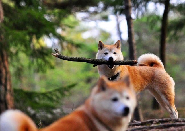 Несмотря на свою независимость Сиба-ину очень любопытна, не прочь поучаствовать в играх или стать помощником на охоте