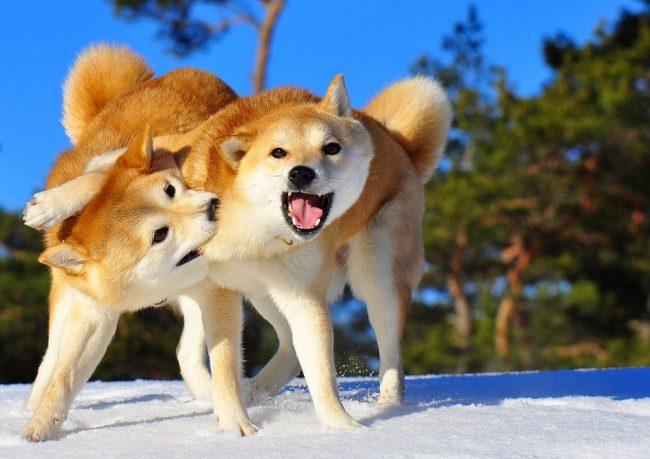 Эти собаки ловкие и прыгучие словно кошки, что помогает им избежать травм