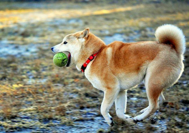 Это очень энергичные собаки, которых можно смело брать на пробежки, велосипедные прогулки и разные спортивные мероприятия