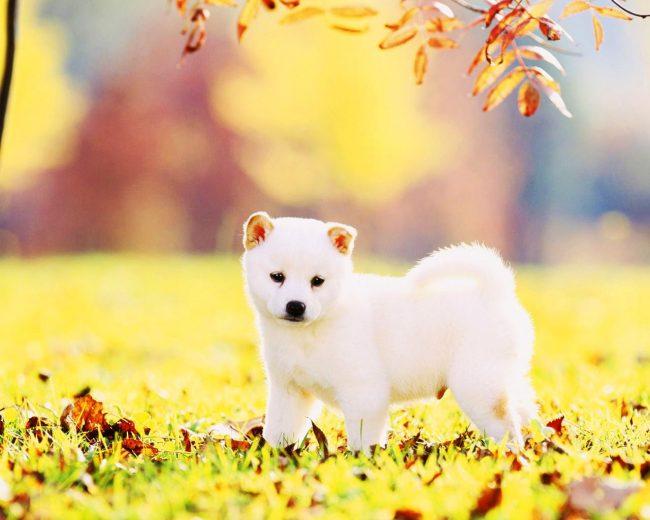 Образец собачьей привлекательности, пушистый белоснежный комочек