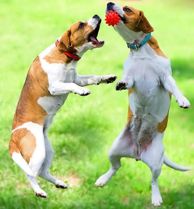 Бигль – энергичный и любознательный пес, поражающий хозяина своей находчивостью и чувством юмора