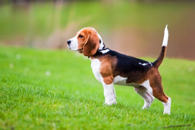 Бигль – это прекрасная собака-компаньон, олицетворение жизнерадостности и оптимизма