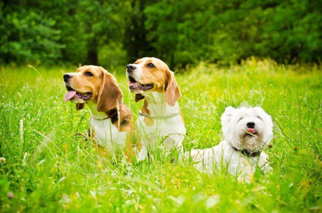 Обоняние биглей считается одним из самых совершенных в мире собак