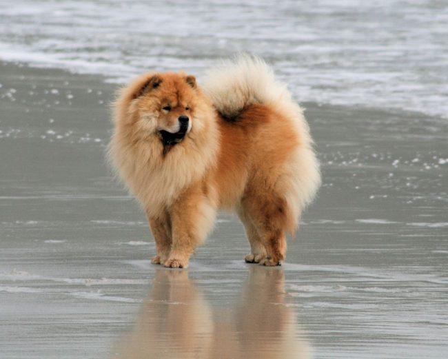 Чау-чау спокойный, серьезный и рассудительный пес