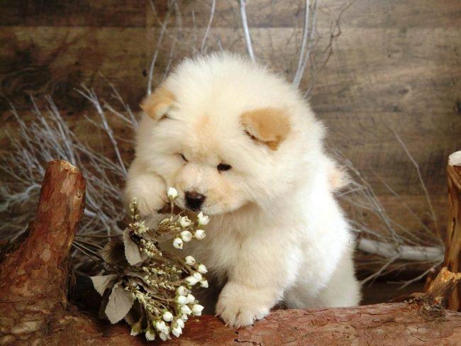Маленькие щенки чау-чау очаровательные и неуклюжие