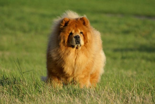 Своей внешностью и повадками чау-чау напоминают льва