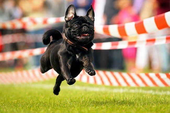Мопс - очень активная, энергичная и целеустремленная собака