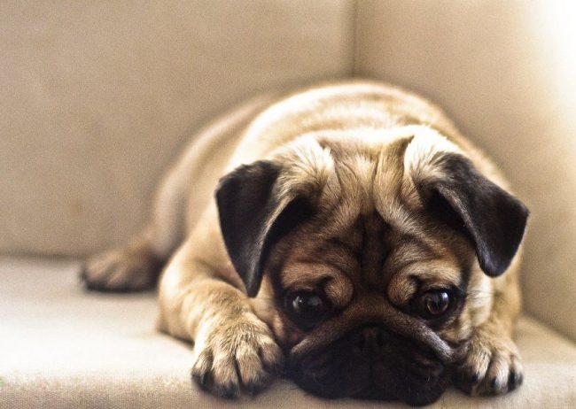 Эту собачку невозможно не полюбить - она милая, добрая и очень ласковая