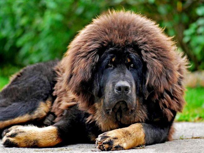 Эта собака с высоким интеллектом, а поэтому они легко обучаемы и хорошо управляемы