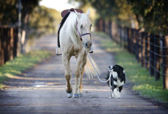 Принц бордер колли с белым конем