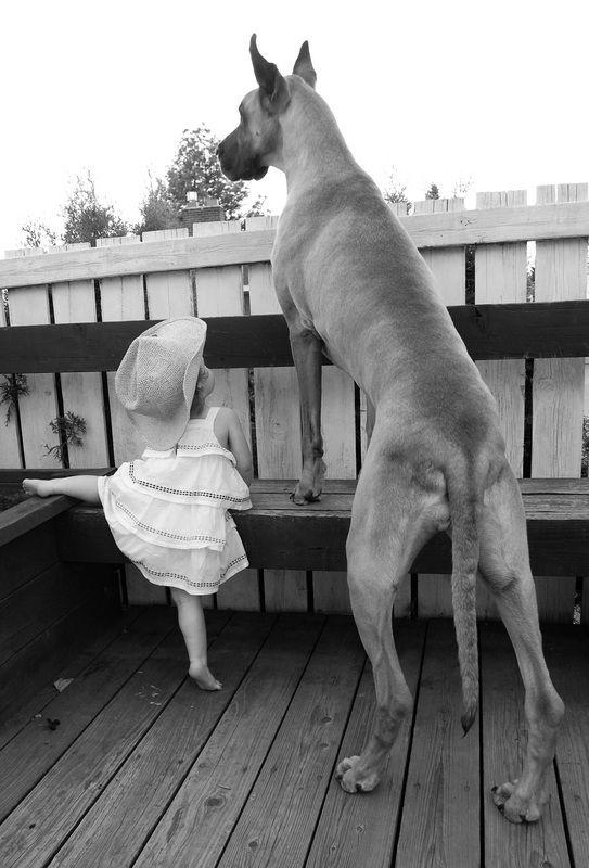 Немецкий дог - это умный и сообразительный пес, умеющий ладить с детьми