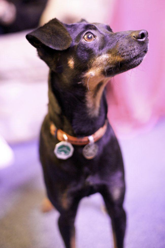 Ягдтерьер – удивительно здоровая собака с крепким иммунитетом