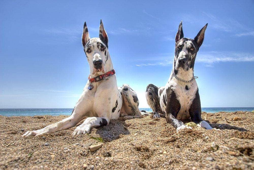 Как содержать немецкого дога: описание породы, правила ухода, фото собак