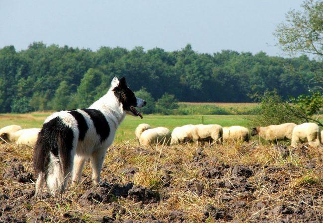 Бордер колли зарекомендовали себя ответственными пастухами