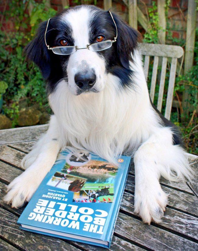 Интеллект бордер колли позволяет даже читать книги