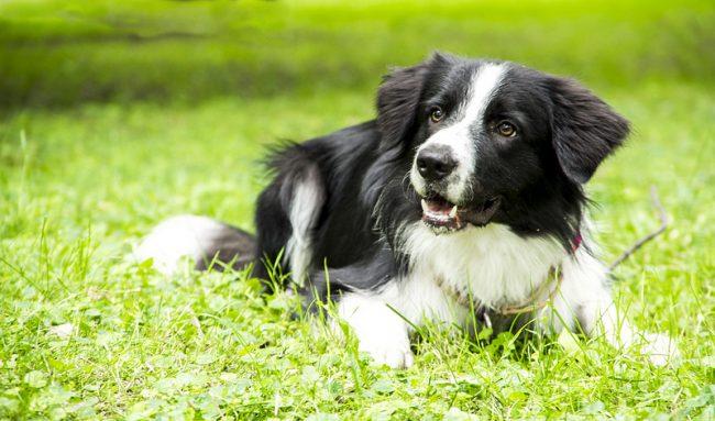 Бордер колли считается самой умной собакой в мире