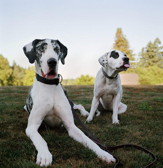 Собака немецкий дог невероятно жизнерадостная, любым проблемам она готова показать язык