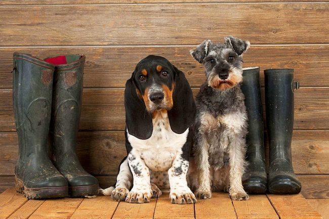 Бассет-хаунд и его лохматый друг собираются на охоту