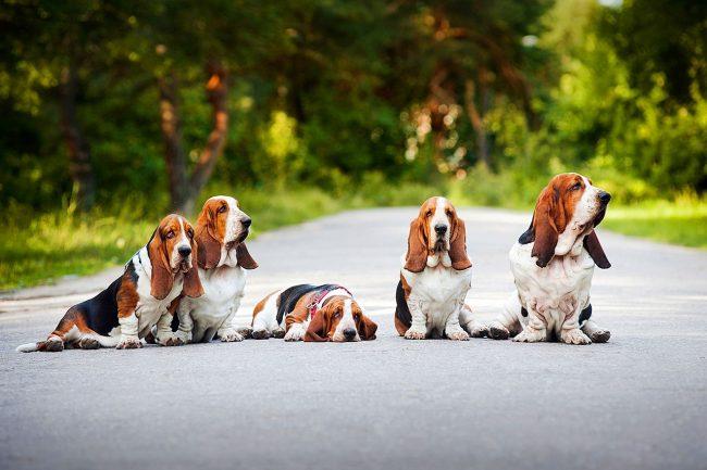 Нежные, ласковые, с эффектной внешностью собаки производят великолепное впечатление