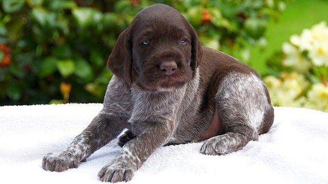 Здоровые щенки дратхааров - подвижные и общительные