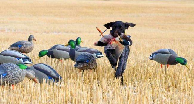 Дратхаары были созданы для охоты, без нее они могут заскучать
