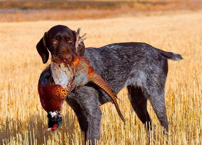 Дратхаары - истинные охотники. Для них это призвание, стиль жизни и любимое занятие