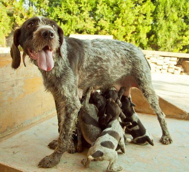 Молоко мамы - лучшая еда для любых щенков