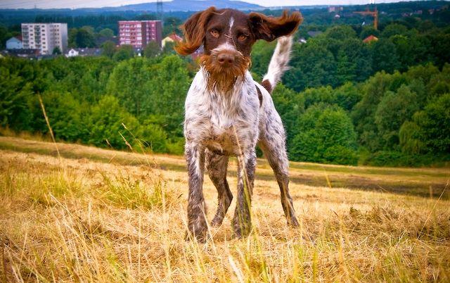 Дратхаар - собака очень энергичная. Их нужно обязательно занимать каким-то делом, у них так много жизненной энергии, что они способны играть или работать целыми днями