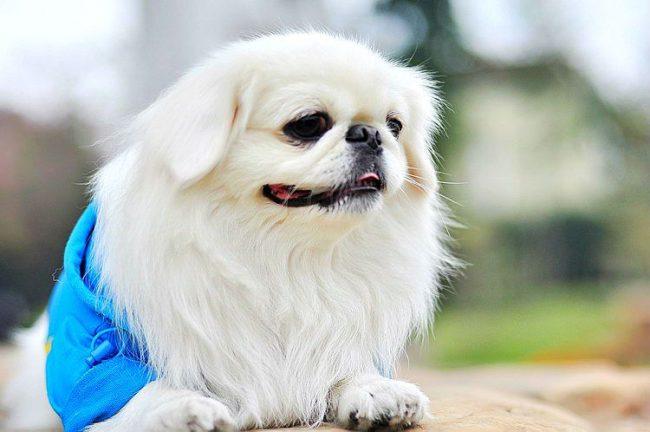 Красивая неприхотливая собачка для тех, кто не любит рано вставать