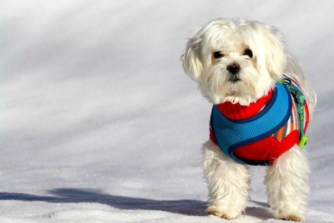 Белая, красивая шерсть делает эту собачку неповторимой