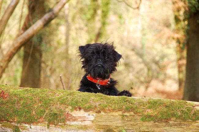 Аффенпинчер - чуткая собачка с маленькой обезьяноподобной мордочкой