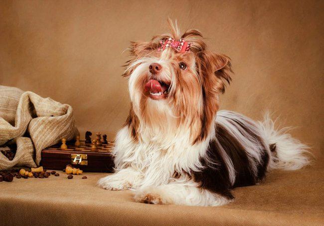 За потрясающим видом бивер-йорка скрывается выдающийся игрок в шахматы